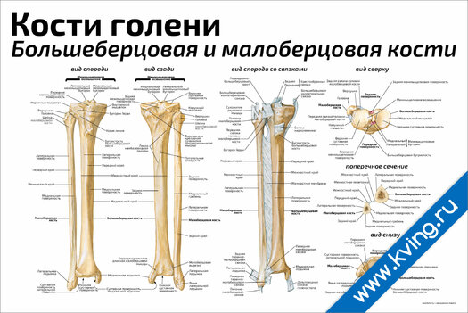 Плакат кости голени: большеберцовая и малоберцовая кости