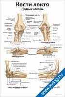 Кости локтя: правый — медицинский плакат