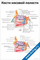 Кости носовой полости — медицинский плакат