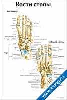 Кости стопы: вид сверху, подошва — медицинский плакат