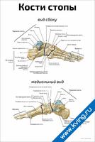 Кости стопы: медиальный вид и вид сбоку — медицинский плакат
