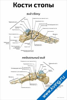 Плакат кости стопы: медиальный вид и вид сбоку