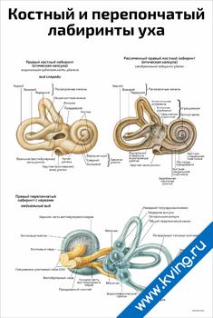 Плакат костный и перепончатыйлабиринты уха