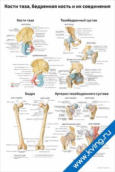 Плакат кости таза, бедренная кость и их соединения