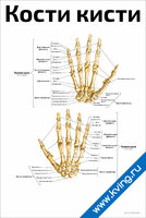Кости кисти — медицинский плакат