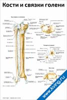 Кости и связки голени — медицинский плакат