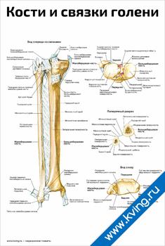 Плакат кости и связки голени