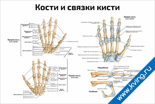Плакат кости и связки кисти