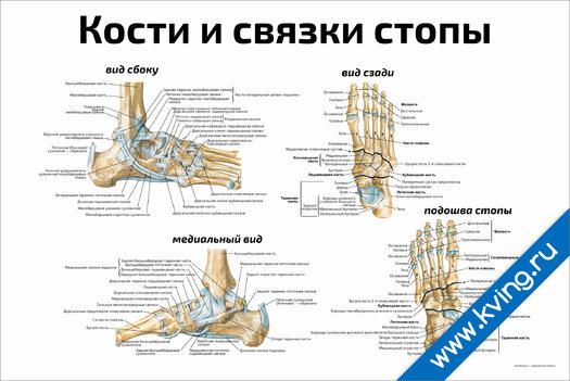 Плакат кости и связки стопы