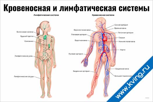 Плакат кровеносная и лимфатическая системы