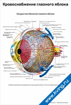 Плакат кровоснабжение глазного яблока
