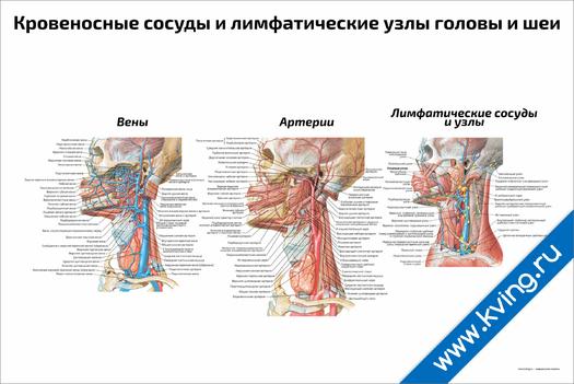 Плакат кровеносные сосуды и лимфатические узлы головы и шеи