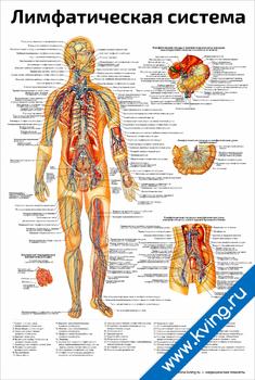 Плакат лимфатическая система