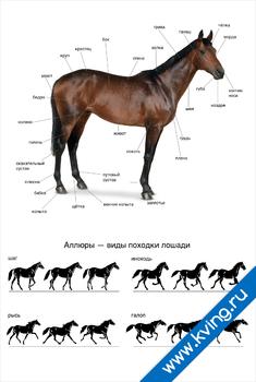 Плакат аллюры лошади