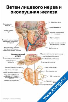 Плакат ветви лицевого нерва и околоушная железа