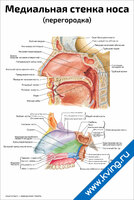 Медиальная стенка носа — медицинский плакат