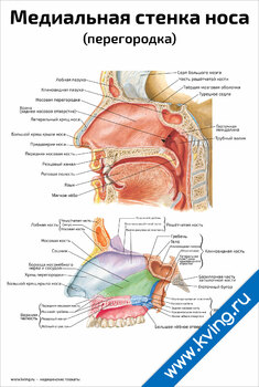 Плакат медиальная стенка носа
