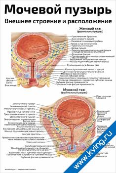 Плакат мочевой пузырь, внешнее строение и расположение