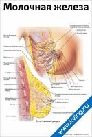 Молочная железа — медицинский плакат