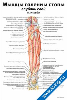 Плакат мышцы голени и стопы: глубоки слой (вид сзади)