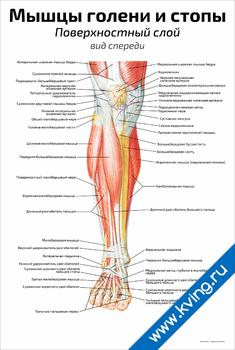 Плакат мышцы голени и стопы, поверхностный слой: вид спереди