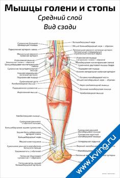 Плакат мышцы голени и стопы: средний слой, вид сзади