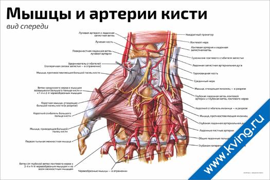 Плакат мышцы и артерии кисти: вид спереди