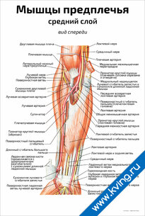 Плакат мышцы предплечья, средний слой: вид спереди