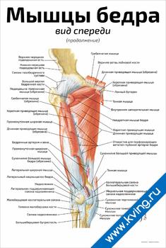 Плакат мышцы бедра: вид спереди (продолжение)