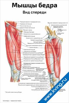 Плакат мышцы бедра, вид спереди