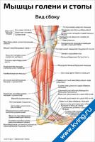 Мышцы голени и стопы, вид сбоку — медицинский плакат