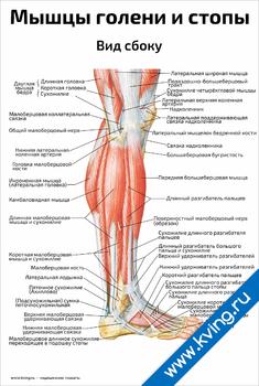 Плакат мышцы голени и стопы, вид сбоку