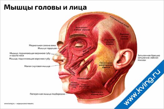 Плакат мышцы головы и лица