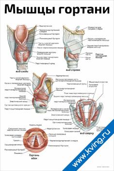 Плакат мышцы гортани