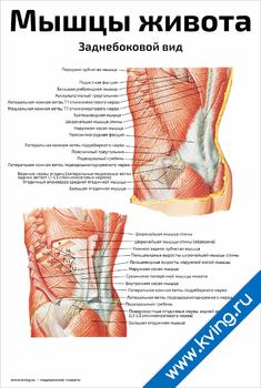 Плакат мышцы живота, заднебоковой вид