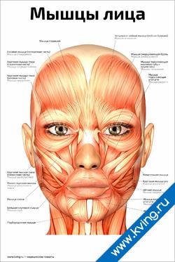 Плакат мышцы лица