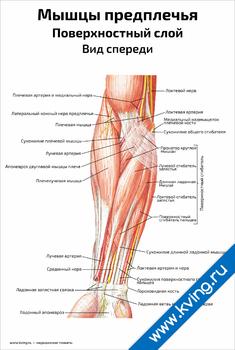 Плакат мышцы предплечья, поверхностный слой, вид спереди