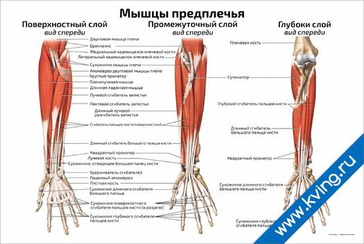 Плакат мышцы предплечья