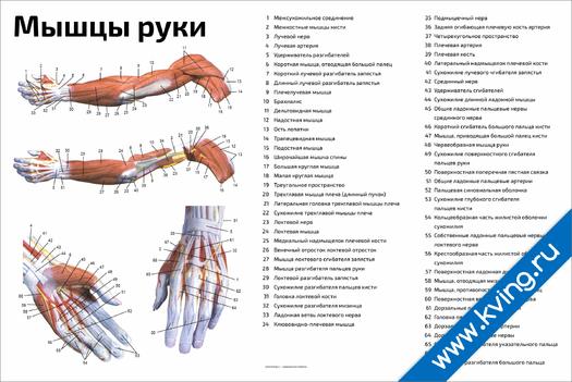 Плакат мышцы руки