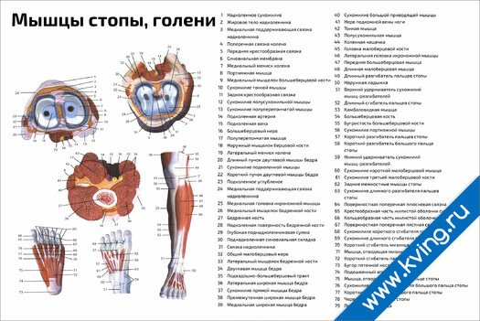 Плакат мышцы стопы, голени