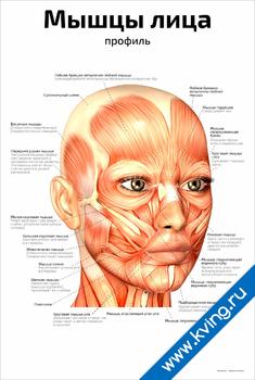 Плакат мышцы лица: профиль