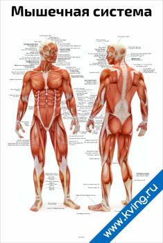 Плакат мышечная система человека