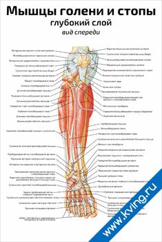 Плакат мышцы голени и стопы: глубокий слой, вид спереди