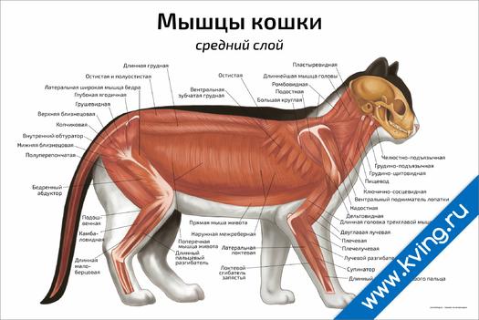 Плакат мышцы кошки: средний слой