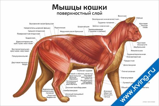 Плакат мышцы кошки: поверхностный слой