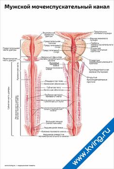 Плакат мужской мочеиспускательный канал: два вида