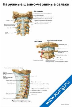 Плакат наружные шейно-черепные связки