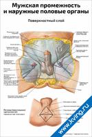 Мужская промежность и наружные половые органы, поверхностный слой — медицинский плакат
