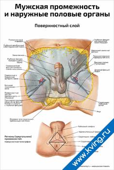 Плакат мужская промежность и наружные половые органы, поверхностный слой