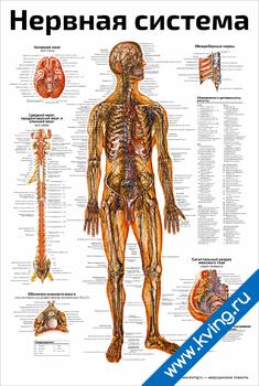 Плакат нервная система